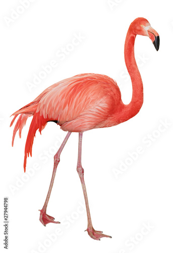 Foto op Canvas Flamingo American Flamingo cutout