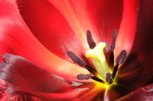 Extreme Close-up On Center Part Of Blossoming Tulip