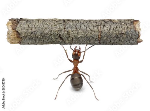 Fotografie, Obraz  worker ant holding log, isolated