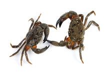 Two Stone Crab (Eriphia Verruc...