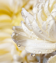 Macro Of Chrysanthemum Bloom With Water Drops