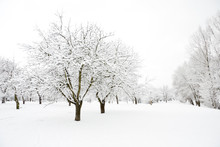 Trees In Park Covered By Snow ...