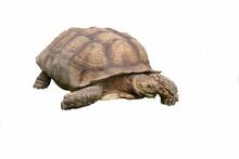 Giant Tortoise Isolated On White