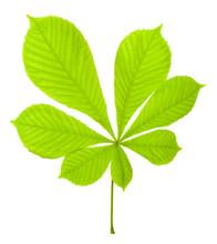 Green Chestnut Leaf