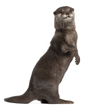 Oriental Small-clawed Otter, A...