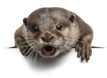 Oriental Small-clawed Otter, Amblonyx Cinereus, 5 Years Old