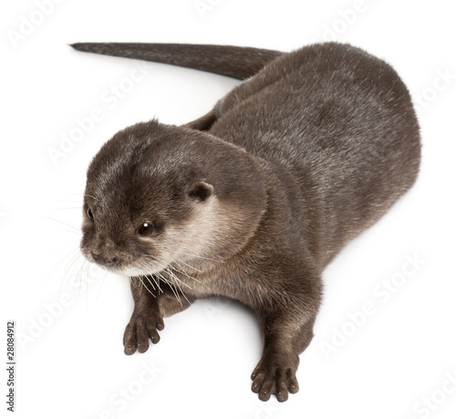 Fototapeta High angle view of Oriental small-clawed otter obraz na płótnie