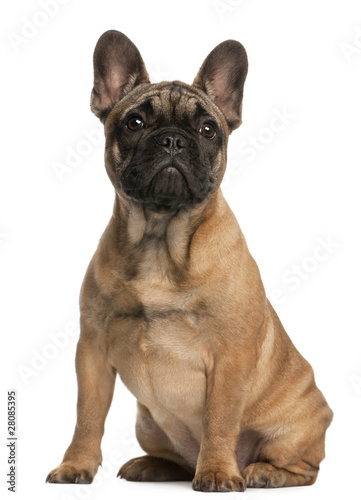 Poster Bouledogue français French bulldog puppy, 4 months old, sitting