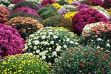 colorful chrysanthemum flower