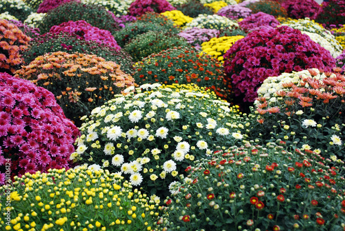 colorful chrysanthemum flower Fototapete