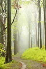 Fototapeta Drzewa Mountain trail in misty spring forest during rainfall