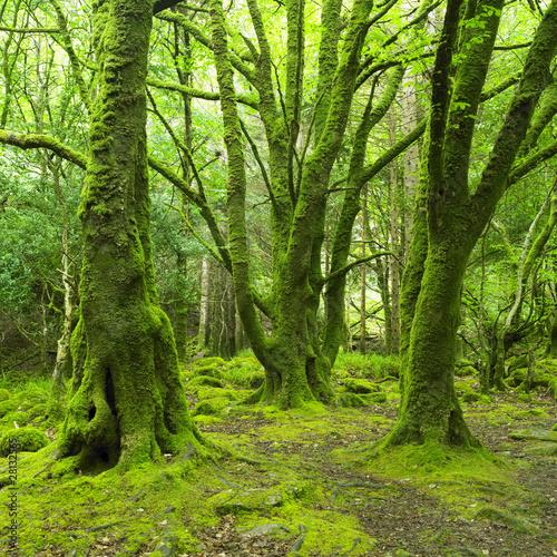 Fotobehang Bossen forest, Killarney National Park, County Kerry, Ireland