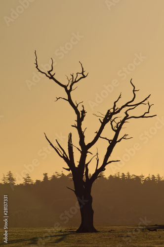 Photo sur Toile Oiseaux sur arbre graphic shape of dying tree at dawn