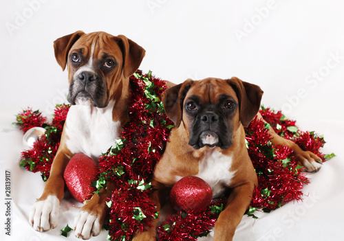Cute Christmas Puppies.Two Cute Christmas Boxer Puppies Buy This Stock Photo And