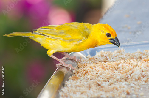 Fotografia  Yellow canary