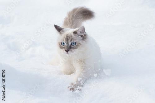 Fototapeta premium cat in snow