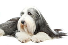 Bearded Collie, 4 Years Old, O...