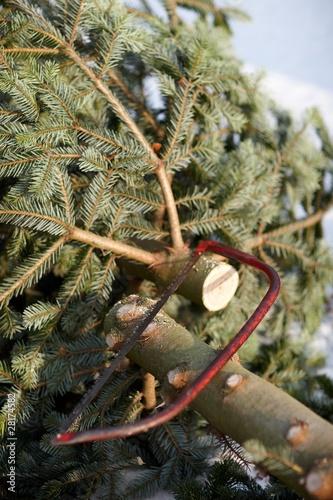 Weihnachtsbaum Fällen.Weihnachtsbaum Fällen Kaufen Sie Dieses Foto Und Finden Sie