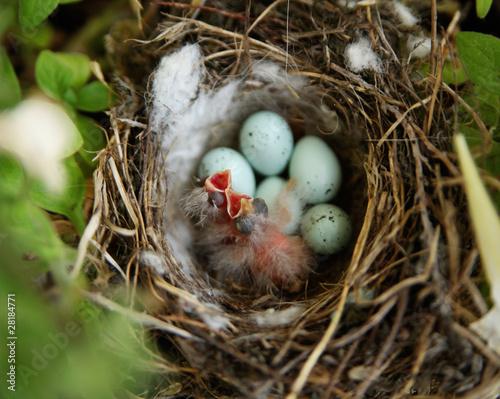 Fotografie, Obraz  Just hatched baby birds