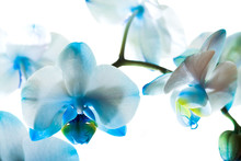 Dark Blue Orchid