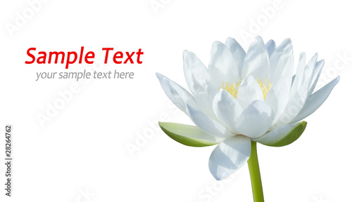 Garden Poster Lotus flower White waterlily on white