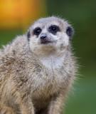 Fototapeta Zwierzęta - Meercat / surykatka