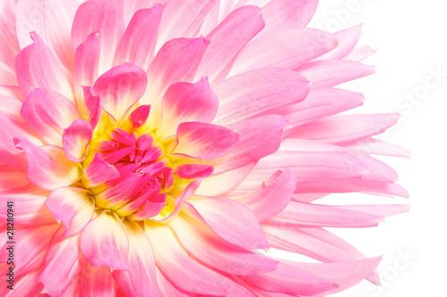Poster de jardin Dahlia pink dahlia closeup isolated on white