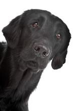 Flat Coated Retriever Dog