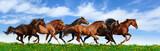 Fototapeta Konie - herd gallops
