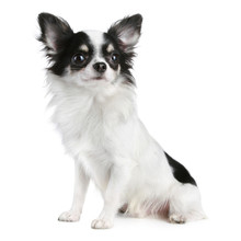 Long-haired Chihuahua Dog Sitt...