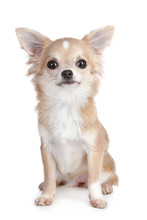 Chihuahua Puppy Sitting On A W...