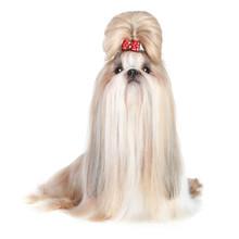 Dog Of Breed Shih-tzu On White...
