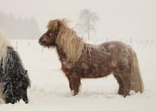 Ponys Im Schneesturm