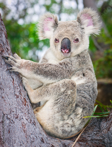 Deurstickers Australië Portrait of a wild Koala sitting in a tree