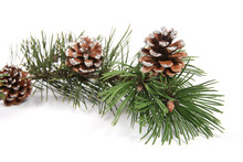 Pine Tree Branch With Pinecones
