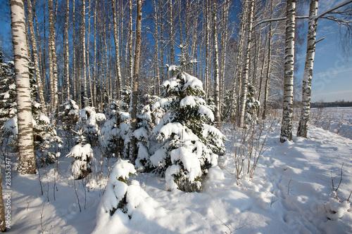 las-w-zimie