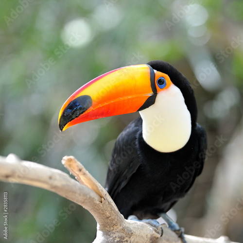 papier peint photo toucan. Black Bedroom Furniture Sets. Home Design Ideas