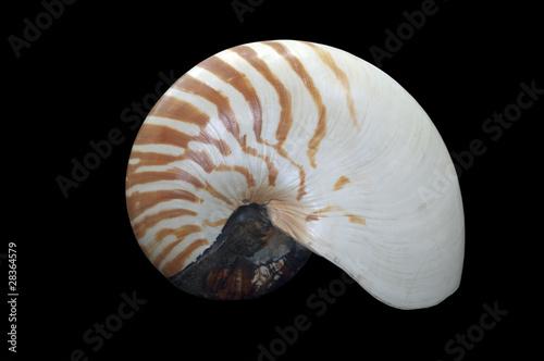Valokuva  Nautilus pompilius cephalopod