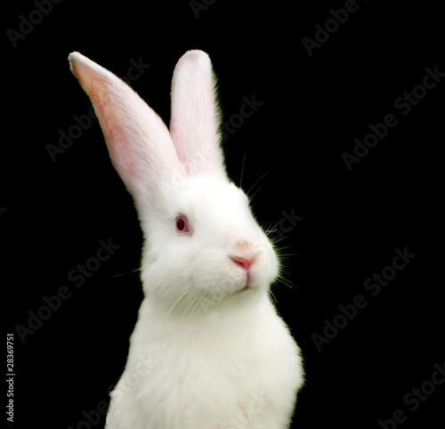 Fotografie, Obraz  White Rabbit on Black Background - Symbol of 2011