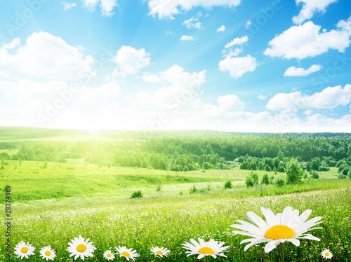 Staande foto Lente field of daisy flowers