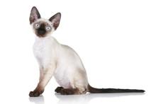 Devon-rex Cat On White Backgro...