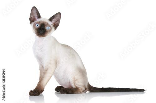 Fotografía Devon-rex cat on white background
