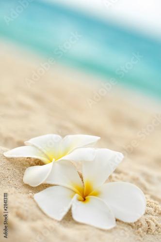 Plissee mit Motiv - Tempelblume am Strand