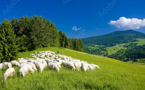 Canvas Print sheep herd, Mala Fatra, Slovakia