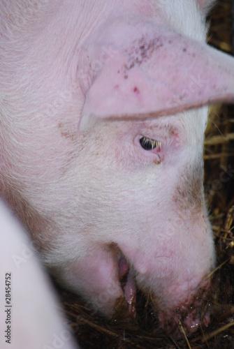 Fototapeta Nahaufnahme Kopf eines Jungschweins beim Fressen obraz na płótnie