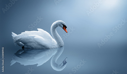 Photo sur Aluminium Cygne swan