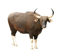 Male Banteng Isolated
