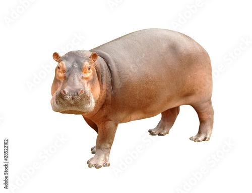 hippopotamus isolated Poster Mural XXL