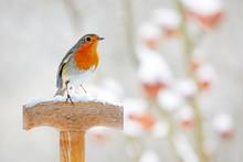 European Robin Perching On A S...