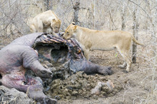 Lions Eating A Dead Hippo